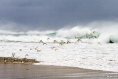Sanderlings, Surf