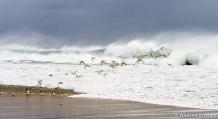 Sanderlings and Surf