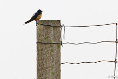 Swallow on fence
