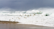 Sanderlings, Surf