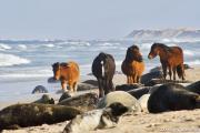 Horses, Seals, Beach