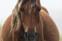 Mare, Sable Island