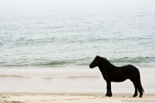 Horse, Sable Island