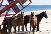 Horses with Buoy