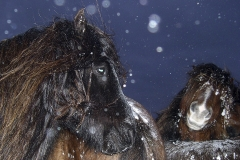 Horses, Dusk, Snow