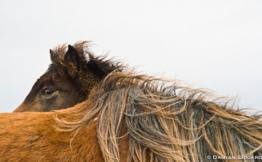 Two Horses; Sable Island, 2007 (#194)