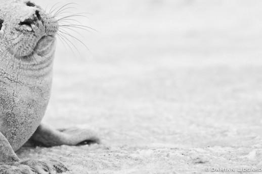 Seal, Sand and Snow; Sable Island, 2008 (#270)