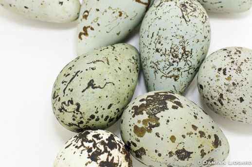 Bird Egg #10