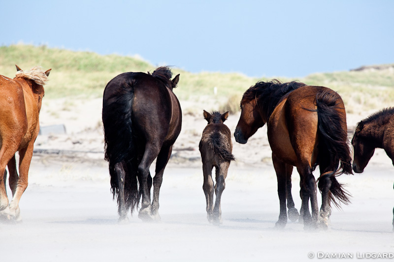 Mother, Sable Island horses, NS