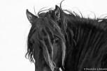 Black horse, Sable Island