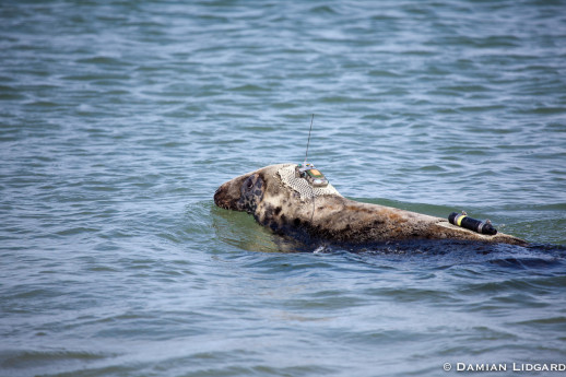 Grey seal with satellite-GPS tag