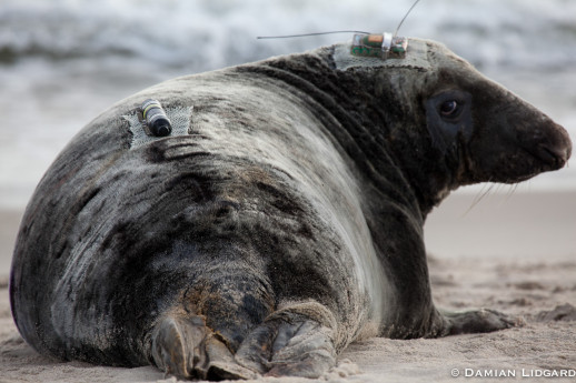 Grey seal from Sable Island