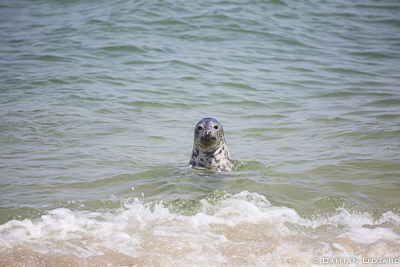 Young grey seal, Sable Island