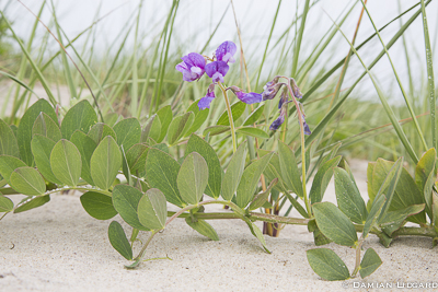 Beach pea, Sable Island
