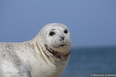 Harbour seal male