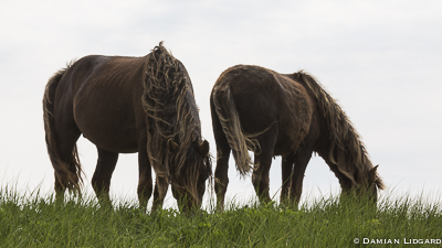 Two horses grazing, Sable Island