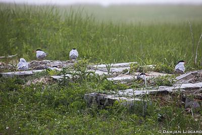 Terns nesting.