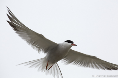 Tern in flight, Sable Island