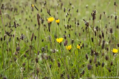 Yellow hawkweed, Sable Island