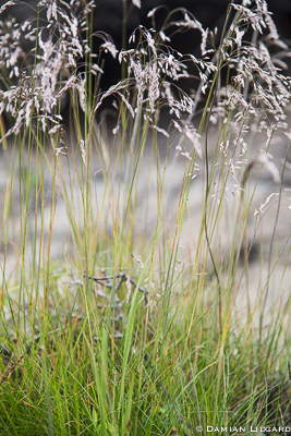 Grass, Sable Island