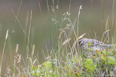 Sparrow, Sable Island