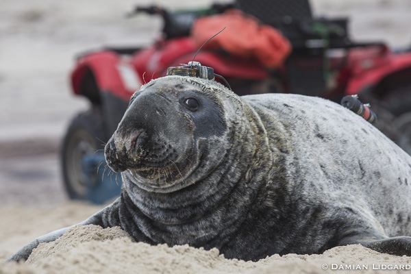 Male grey seal with satellite transmitter