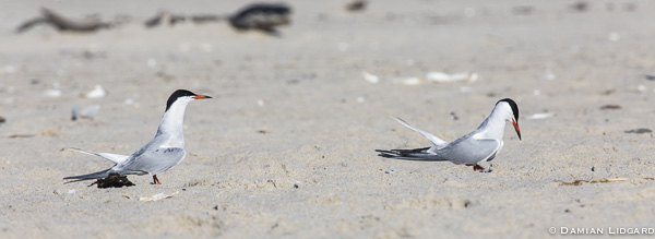 Elegance: the common tern
