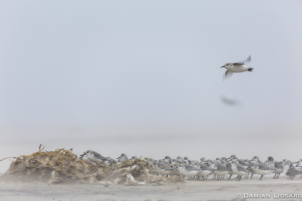 Sanderlings, Sable Island
