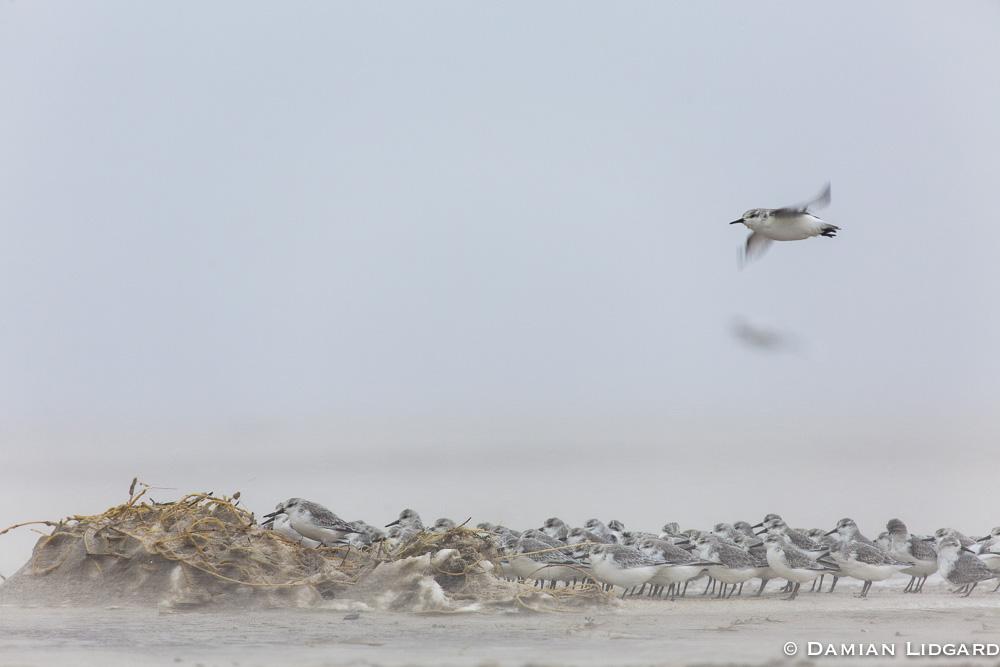 Sanderlings, Sable Island