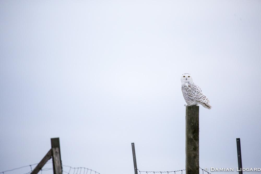 Snowy Owl, Sable Island
