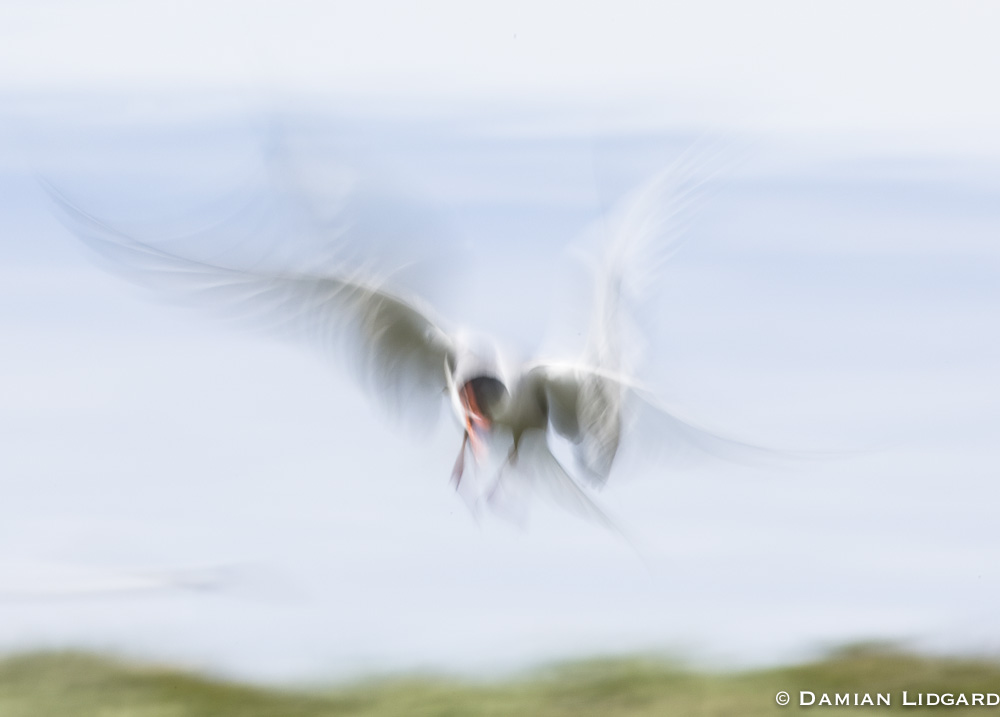 Arctic Tern, Sable Island