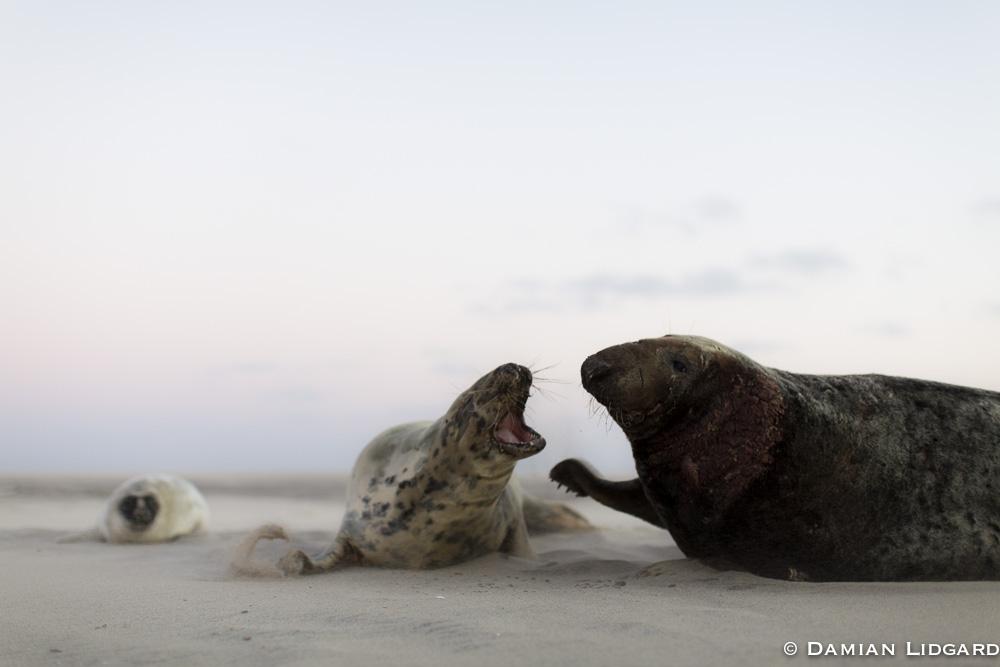 Sable Island grey seals
